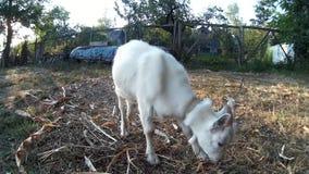 白色goatling在嗅到人的手的链子 乌克兰, Podillya, Khmelnytskyi 股票视频