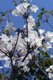 白色Ipe树 库存图片