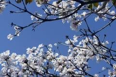 白色Ipe树 免版税图库摄影