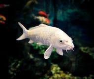 白色Koi鲤鱼 免版税库存图片