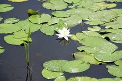 白色kubysh的花在老pripyat的 反映在水中 lilly水 库存照片
