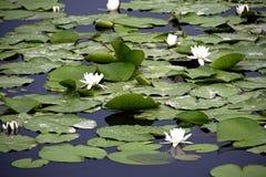 白色kubysh的花在老pripyat的 反映在水中 lilly水 免版税库存图片