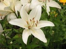 白色liliy 库存图片