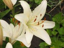 白色liliy 库存照片
