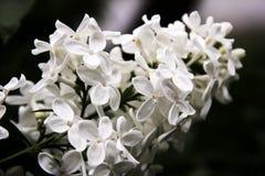 白色lillac花 库存照片