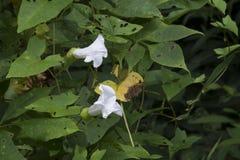 白色lilly开花围拢由叶子 免版税库存照片