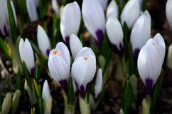 白色lilys在夏天 免版税库存图片