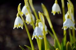 白色lilys在夏天 免版税图库摄影