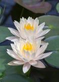 白色lotos 库存图片