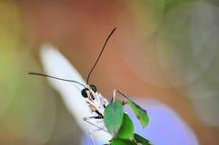 白色Morpho蝴蝶,宏指令的眼睛 库存照片