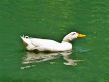 白色Pekin鸭子游泳在湖 免版税库存照片