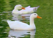 白色Pekin鸭子长岛低头语录platyrhynchos domestica 免版税库存图片