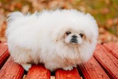 白色Pekingese小狮子狗Peke幼兽小狗 库存照片