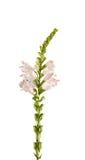 白色Physostegia virginiana,雪,狂放的白花灌木冠 库存照片