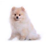 白色pomeranian小狗,逗人喜爱的宠物 库存图片
