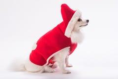 白色Pomeranian小狗 免版税库存照片