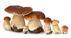 白色porcini家庭  在背景隔绝的狂放的被搜寻的蘑菇选择,与阴影 牛肝菌蕈类可食蘑菇 免版税图库摄影