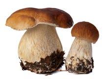 白色porcini家庭  在背景隔绝的狂放的被搜寻的蘑菇选择,与阴影 牛肝菌蕈类可食蘑菇 图库摄影