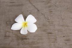 白色pumeria在木背景中 免版税库存图片