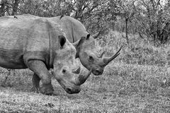 白色Rhinocerous 库存照片