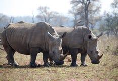 白色Rhinocerous 库存图片