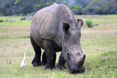 白色Rhinocerous 免版税库存图片