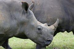 白色Rhinocerous 免版税库存照片
