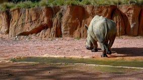 白色Rhinocerus 股票视频