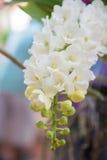 白色Rhynchostylis gigantea兰花 图库摄影