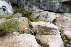 白色saxifrage,一第一春天开花,生长在钙质岩石 库存图片