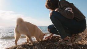 白色shiba inu接近的看法在海滩跑并且在与慢他的女性人的朋友的水附近开掘孔 影视素材
