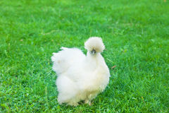 白色Silkie母鸡 图库摄影
