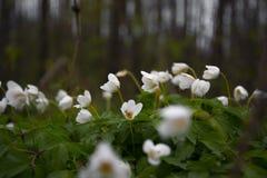 白色snowdrops在夏天森林里 库存照片