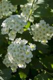 白色Spirea (晨曲的Spirea)在春天庭院 库存照片