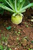 白色ternip在庭院里也叫mooli 免版税库存图片