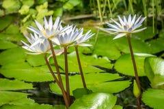 白色waterlily在湖开花 库存图片