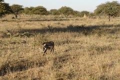 白色whiskered在有金合欢树和白蚁土墩的干燥草原伪装的warthog在Okonjima自然保护,纳米比亚 图库摄影
