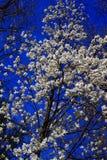 白色Yulan开花的树 图库摄影