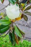 白色yulan花和叶子 免版税库存照片