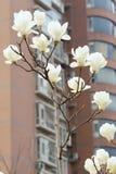 白色Yulan花 库存图片