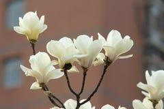 白色Yulan花 库存照片