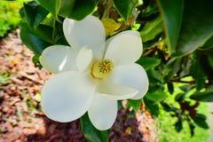 白色yulan花心脏 库存照片