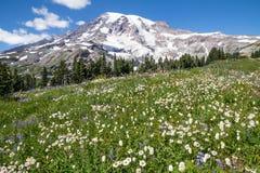白花、蓝色羽扇豆和延命菊大量  登上Rai 库存图片