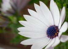 白花与bokeh的Osteospermum ecklonis 免版税库存图片
