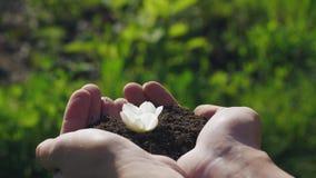 白花从土壤在手上长大 股票录像