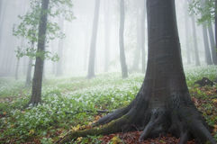 白花低谷树在森林里在春天 免版税库存图片