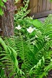 白花和蕨叶状体 免版税图库摄影