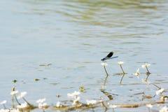 白花和蜻蜓在水中 免版税图库摄影