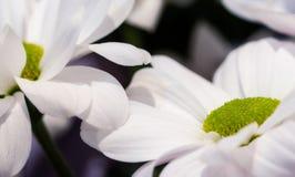白花和defocused背景的宏观摄影 库存照片