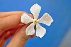 白花在一个女孩的手上在庭院里有美好的蓝色bacba背景 免版税库存照片